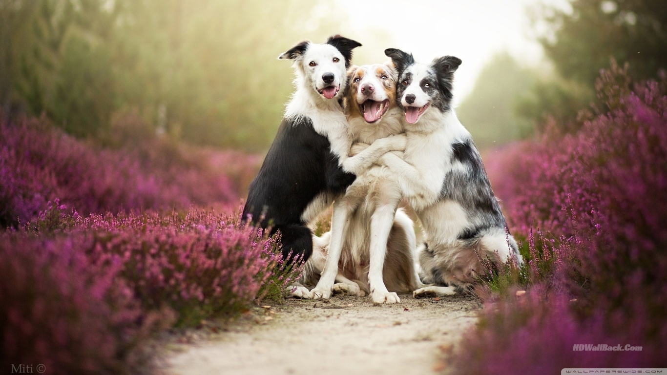 dogs_friends-wallpaper-1366x768