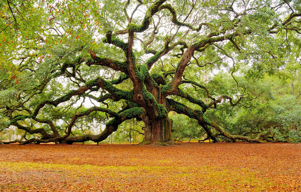 the angeloak tree charleston