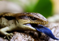African Striped Skink Wallpaper