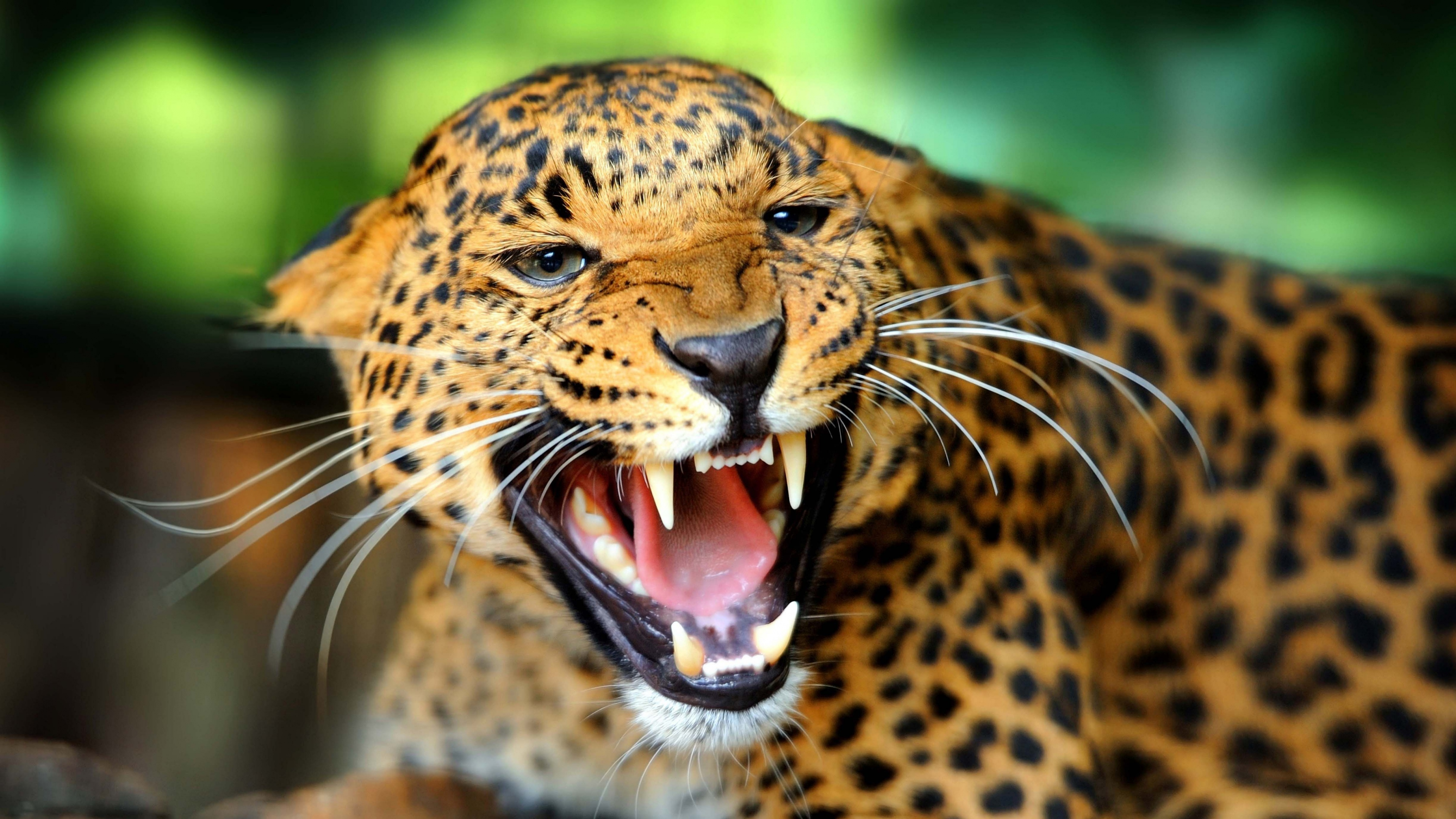 ultra high definition 4k leopard wallpaper