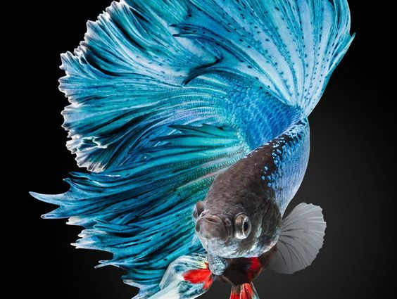 Betta Fish Wallpaper iPhone Live Wallpaper | HD Wallpapers ...