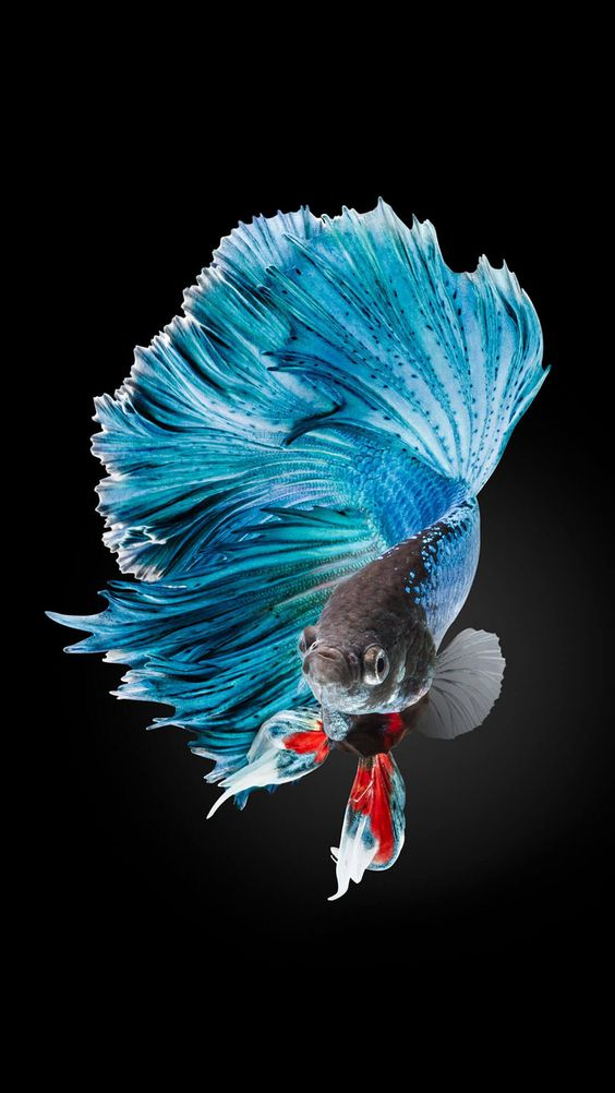 Betta Fish Wallpaper iPhone Live Wallpaper | HD Wallpapers , HD Backgrounds,Tumblr Backgrounds, Images, Pictures