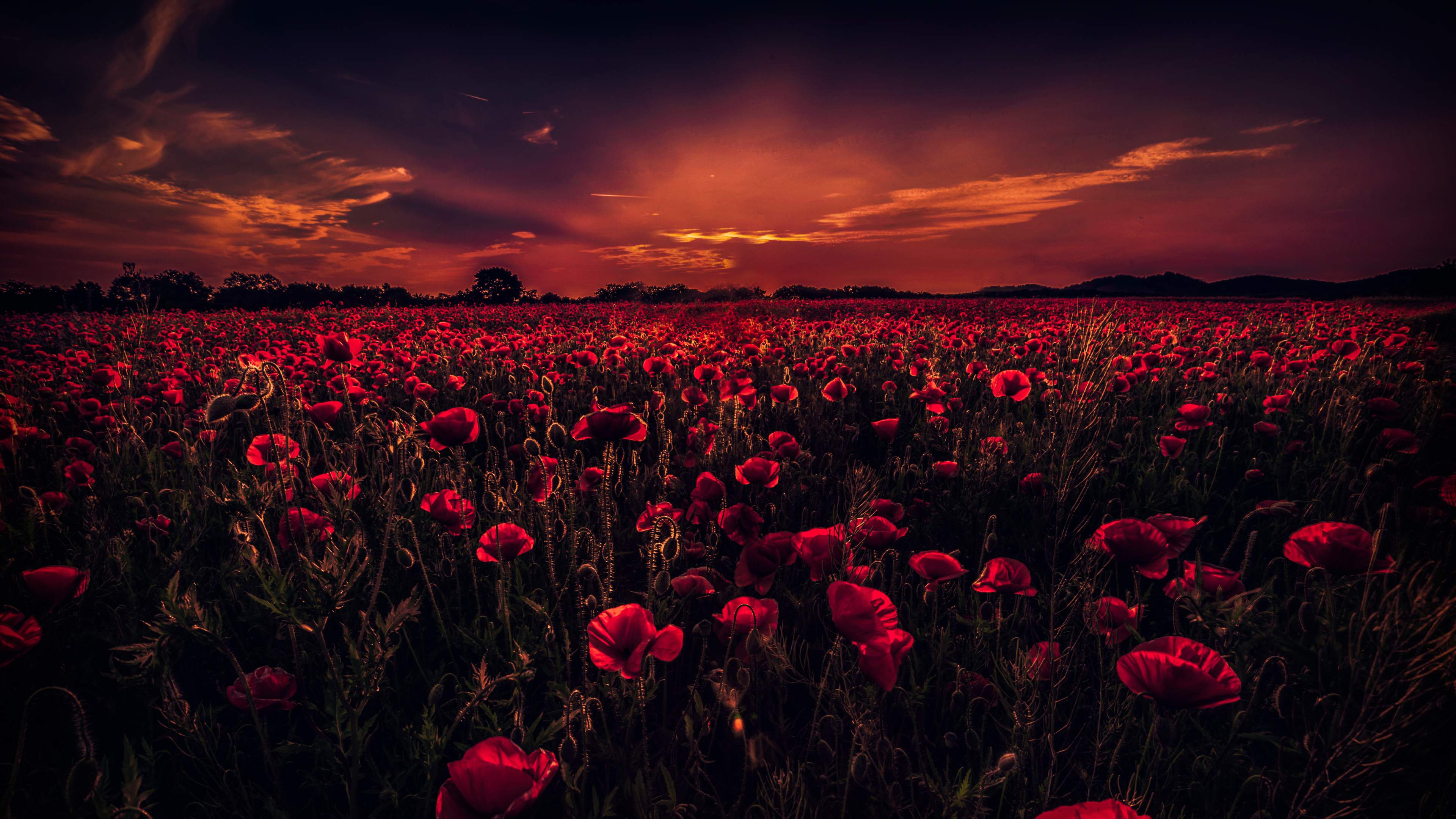 field of poppies uhd 4k wallpaper