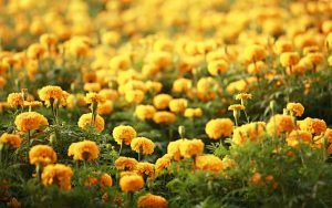 beautiful yellow flower wallpapers