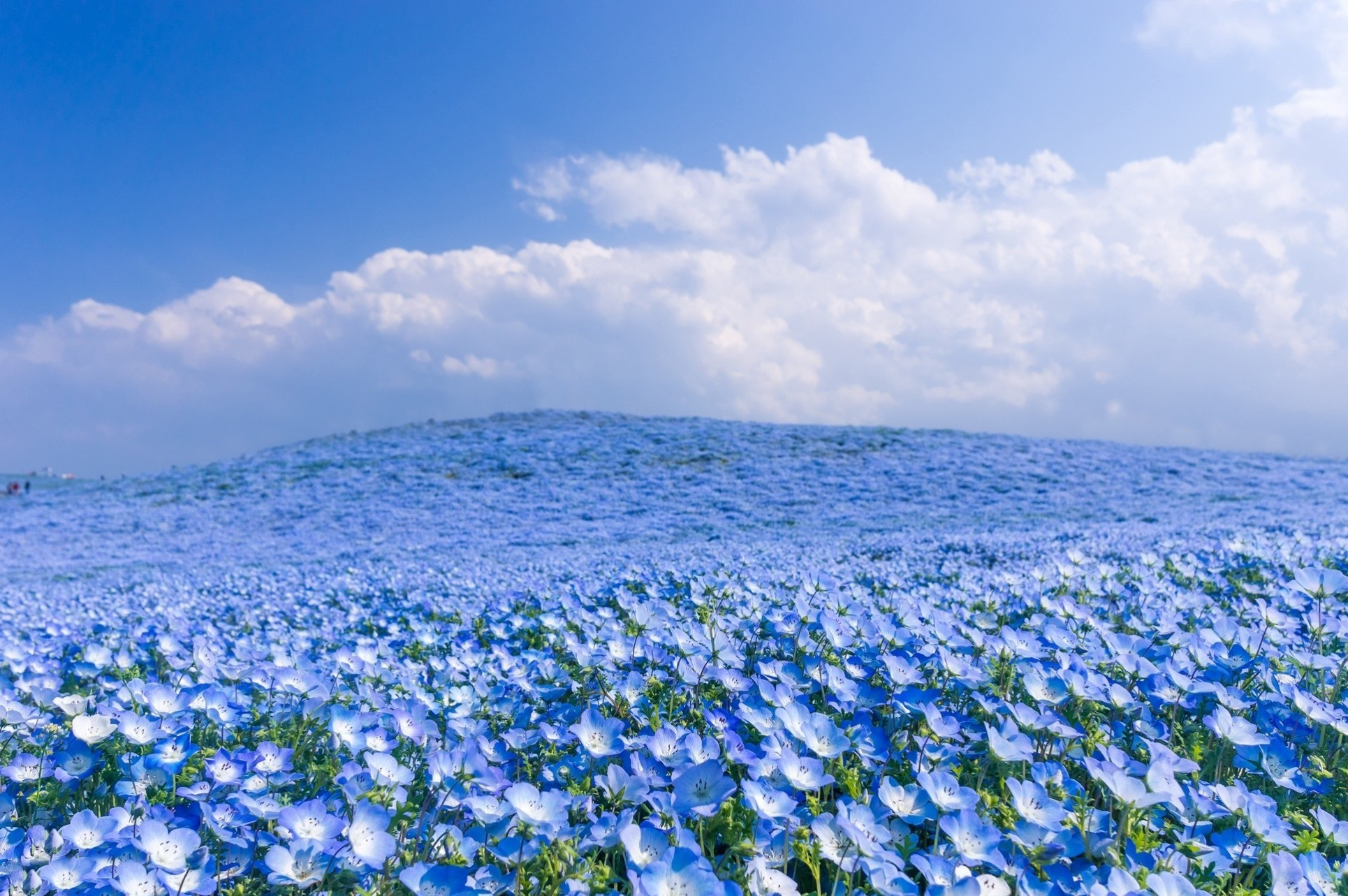 field full with blue flowers wonderful nature wallpaper