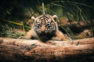 Baby animals cute tigers 4k wallpaper