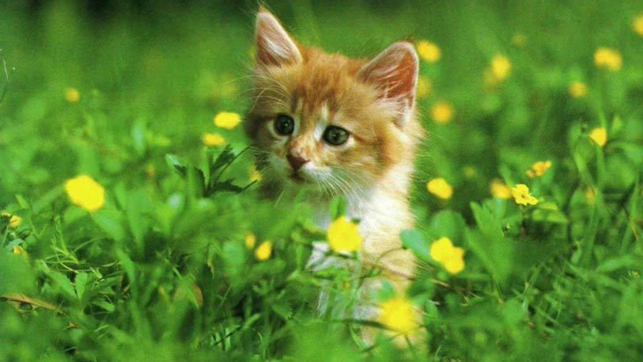 Free cat hd wallpapers download hd wallpapers hd - Cute kittens hd wallpaper free download ...