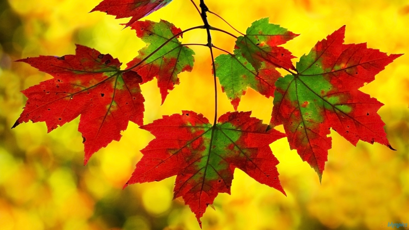 Red And Green Maple