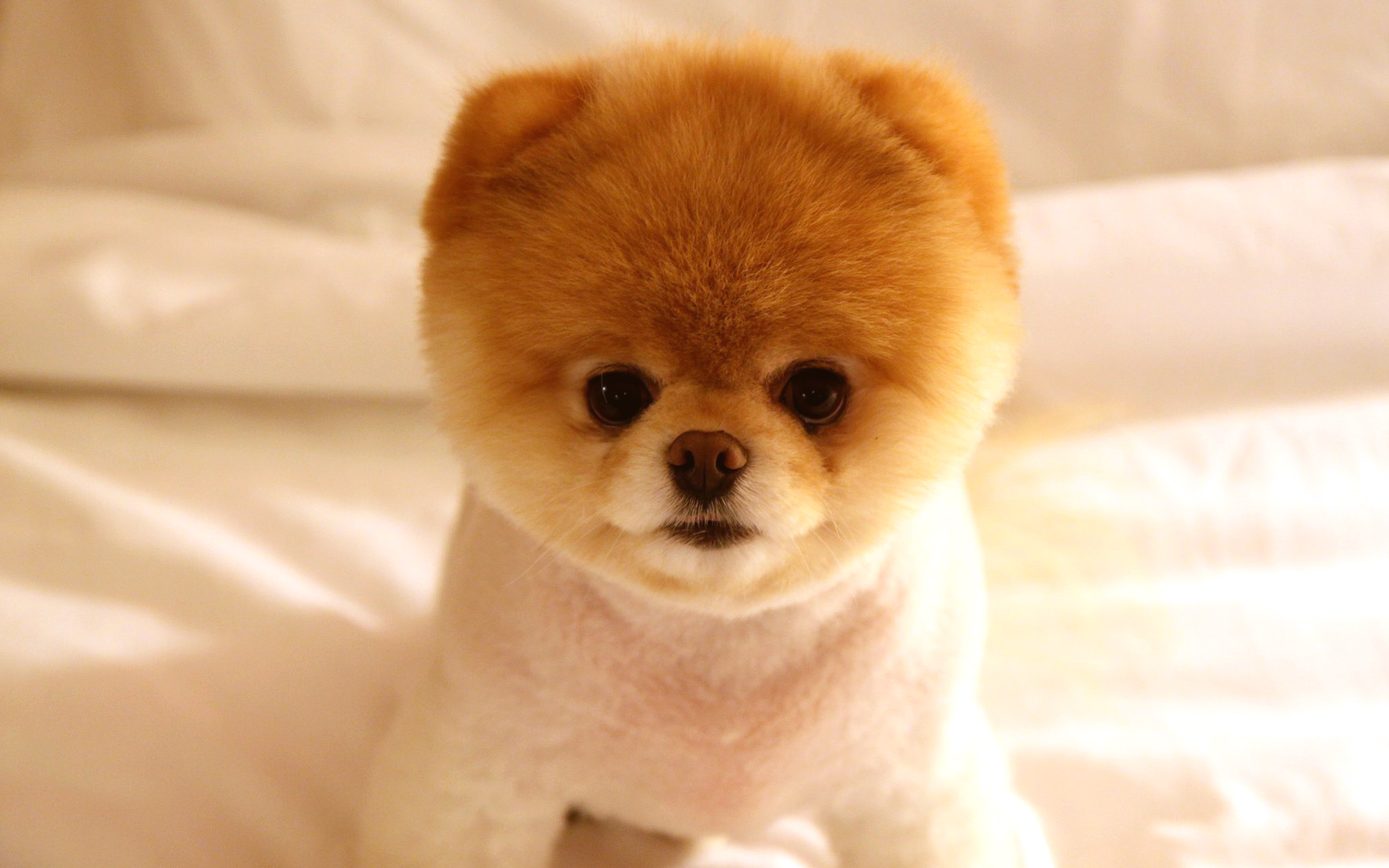 cute dog boo hd