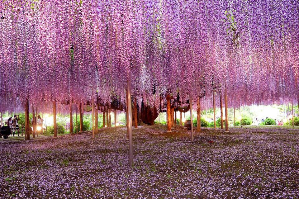 most beautiful wisteria tree in the world