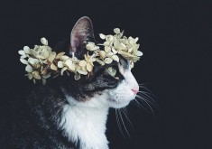 cat crown flower