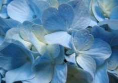 flower wallpaper blue