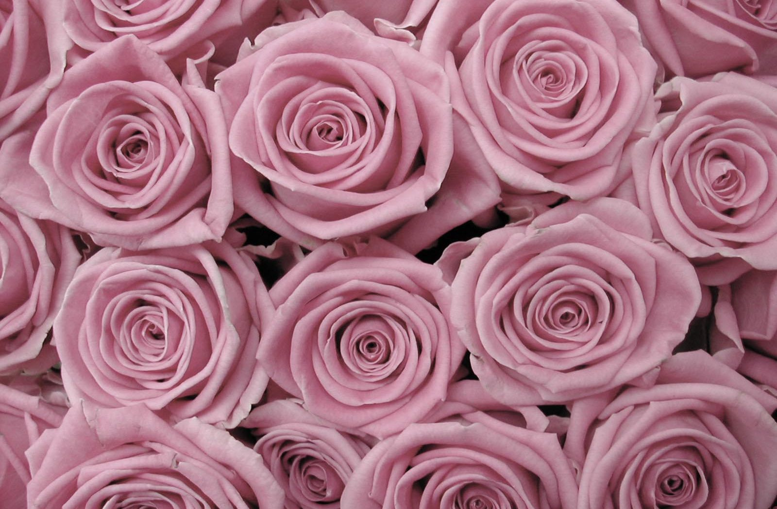 Rose Background tumblr | HD Wallpapers , HD Backgrounds ...
