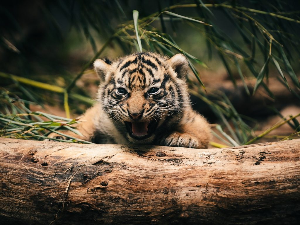 Baby animals cute tigers 4k wallpaper | HD Wallpapers , HD ...