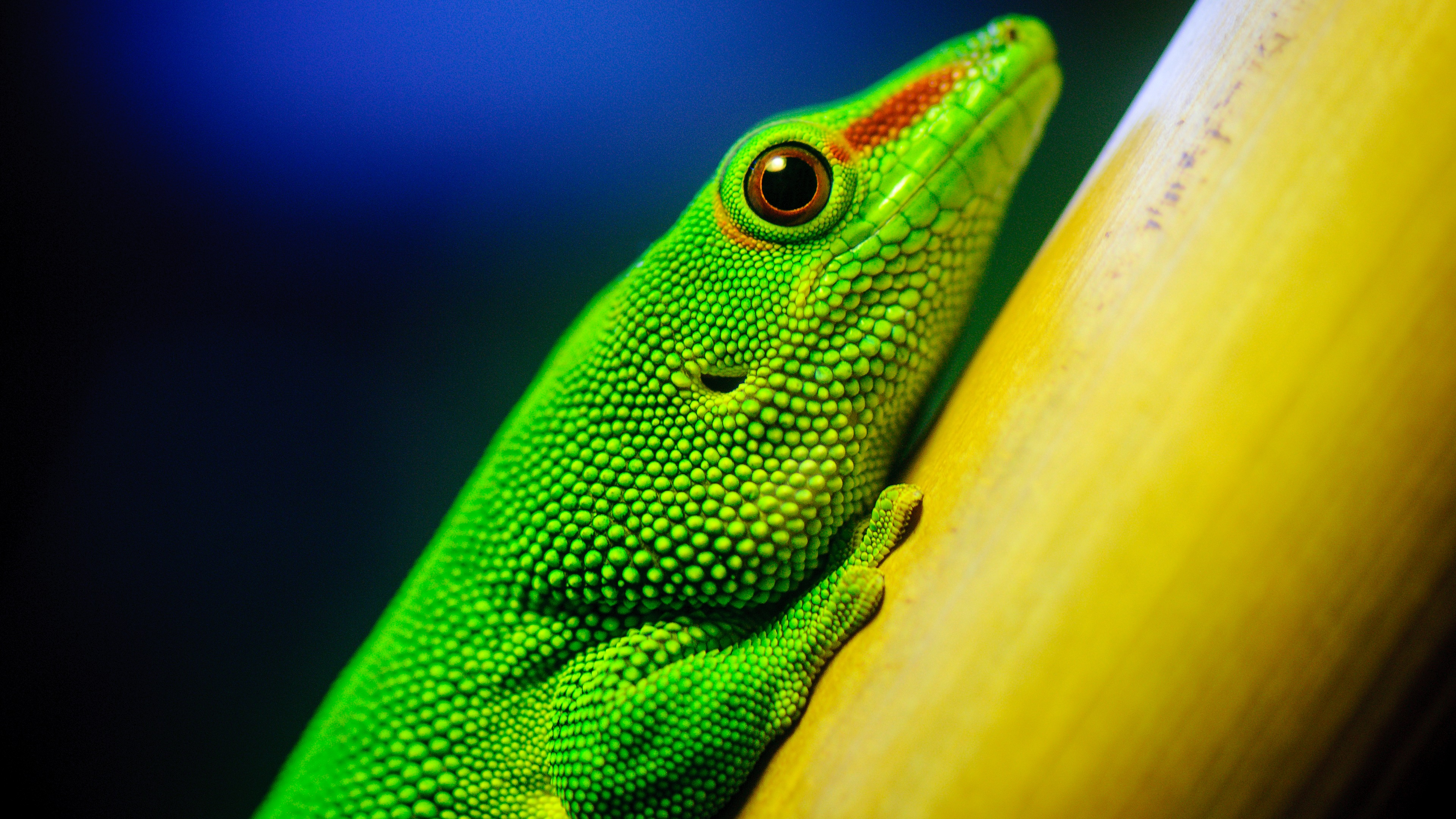 Little Green Lizard Ultra HD 4K Desktop Wallpaper