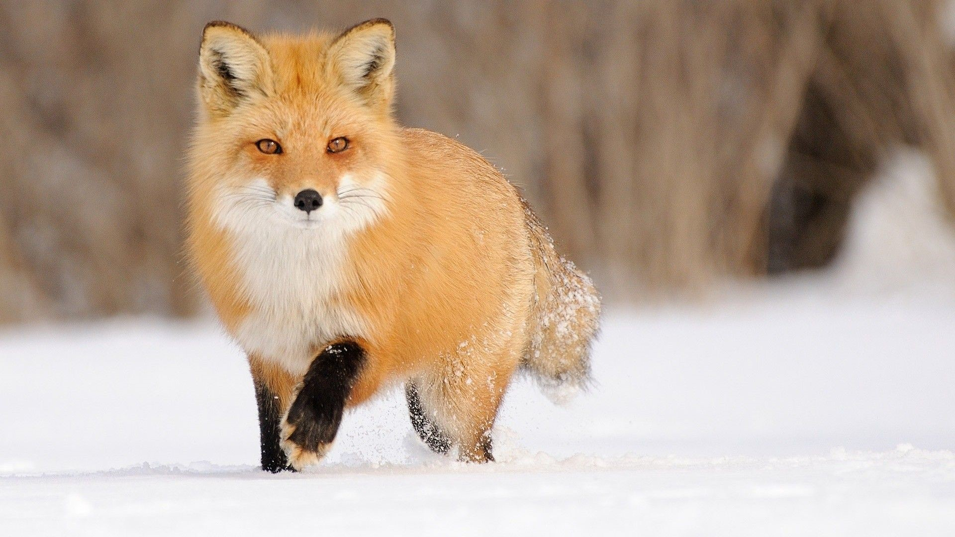 Fox Phone Wallpapers Hd Wallpapers Hd Backgroundstumblr